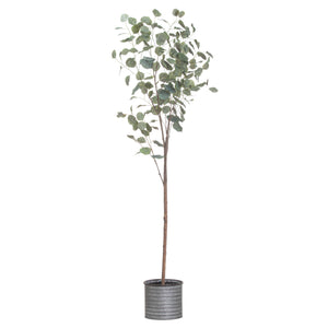 Large Eucalyptus Tree In Metalic Pot