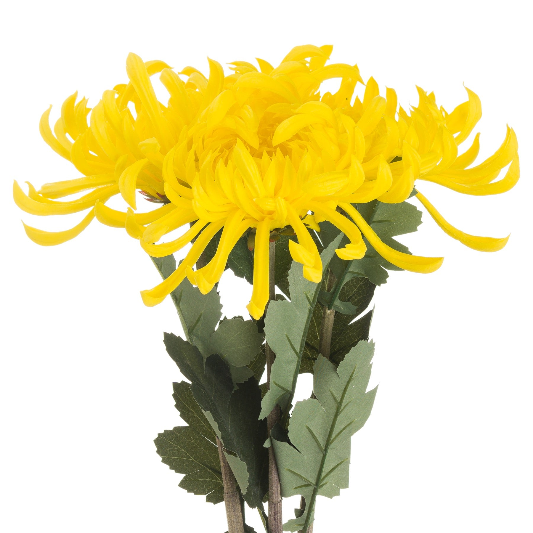 Spider Chrysanthemum Yellow