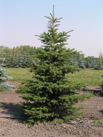 Colorado Spruce - Volume Discounts
