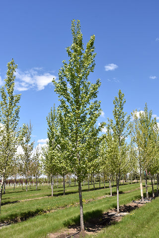 Byland Green Poplar - Volume Discounts