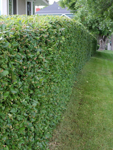 Peking Cotoneaster (Hedge)