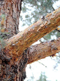 Scots Pine - $5 off when ordering 10 or more