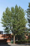 Okanese Poplar - Multiple discounts