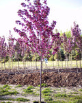 Gladiator Rosybloom Crabapple (Thunderchild)