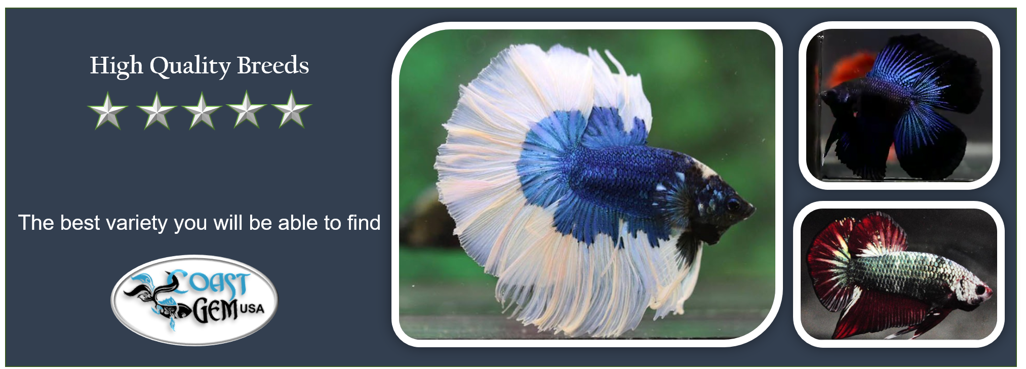 betta fish, Thai betta, show quality fish