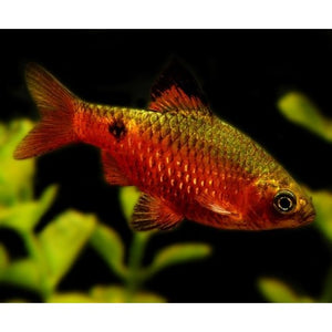 Golden Rosy Barb #135