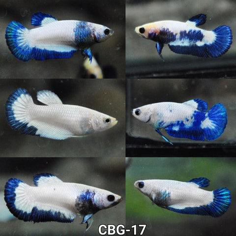(CBG-17) Premium Plakat Female Betta Koi Blue Rim Marble