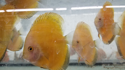 Lemon Yellow Discus 4.00 inch