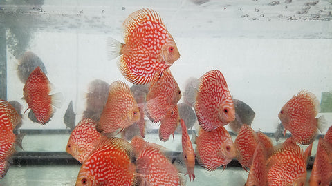 Pigeon Blood Discus 4.00 inch