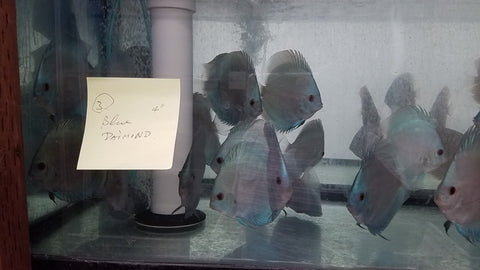 Blue Diamond Discus 4.00 inch