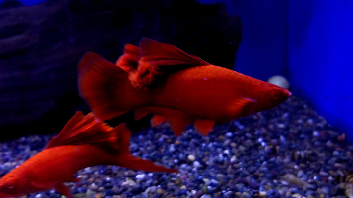 XL Red Eye Red Swordtail