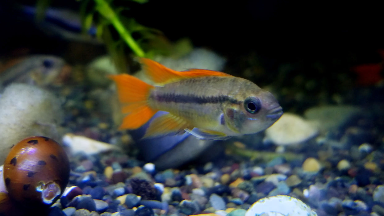 "ORANGE FLASH COCKATOO DWARF CICHLID (APISTOGRAMMA CACATUOIDES VAR. ""ORANGE FLASH"")"