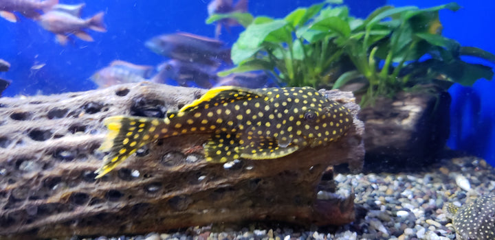 L18 Gold Nugget Pleco (Baryancistrus sp.)