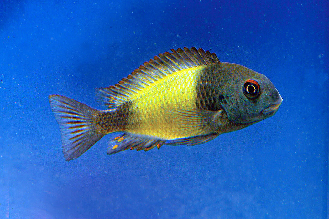 Yellow Banded Tropheus Cichlid #125