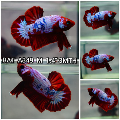Hellboy  Plakat Male Betta (2RAT-A349)S 9/28