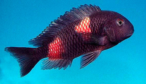 Double Banded Tropheus Cichlid
