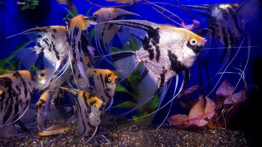 XL Koi Angelfish (Pterophyllum sp.) 4.00-5.00inch  #90