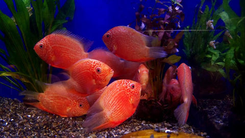 Red Spot Severum 4.00-5.00 inch