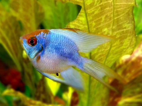 Longfin Balloon Electric Blue Ram #82