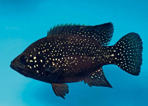 Starry Night Cichlid (Paratilapia Bleekeri)