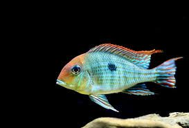 "Geophagus Sp. ""Red Head Tapajos""  #61"