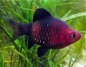 Black Ruby Barb #133