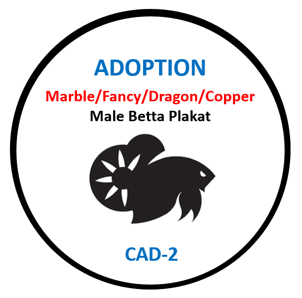 (CAD-2) Betta Adoption Marble, Fancy, Dragon, Copper Male Plakat