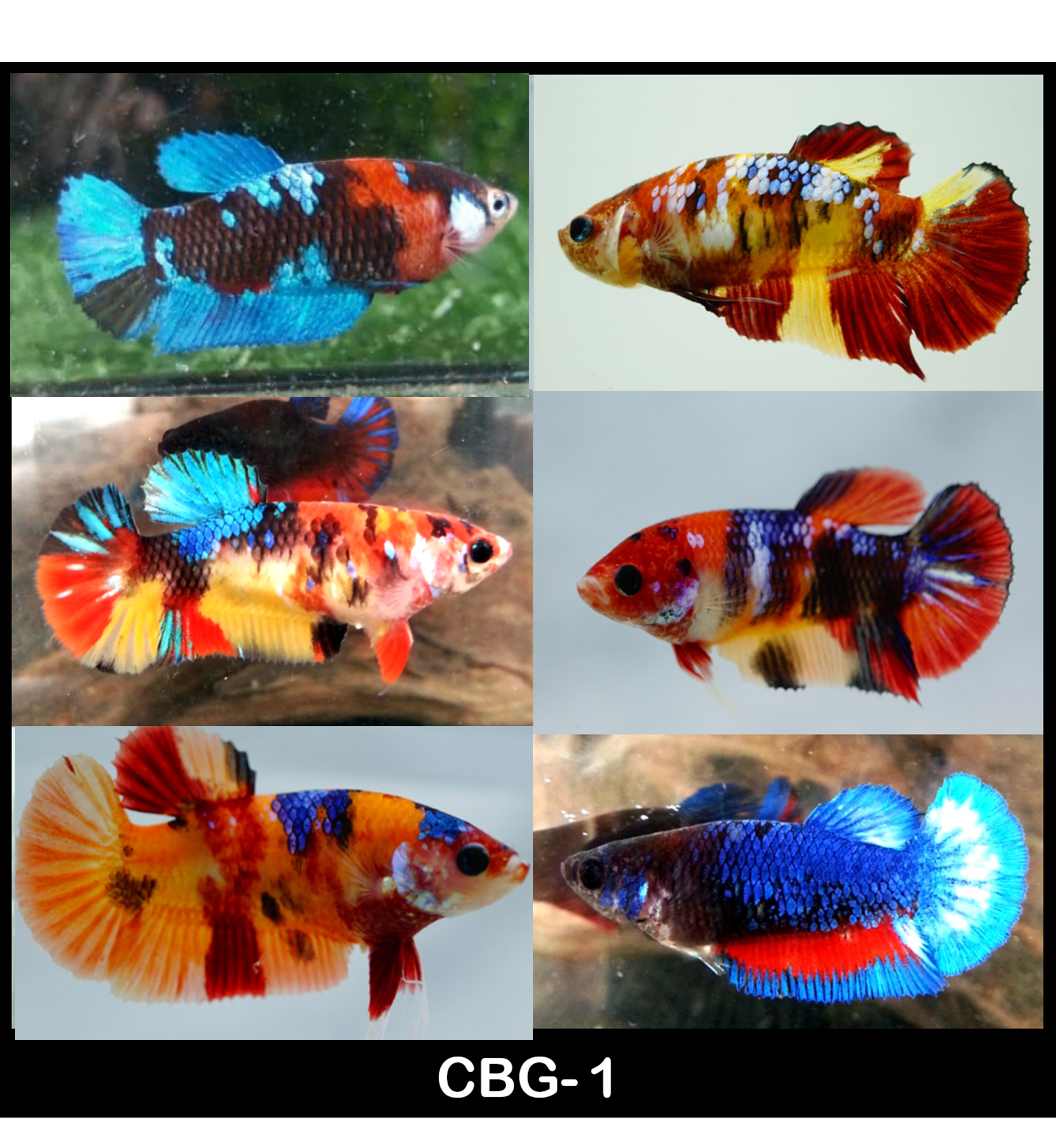 (CBG-01)C-5 Mixed Plakat Female Betta Koi, Nemo, Candy, Galaxy Buy 4 Get 1 Free $60,  Buy 1 for $15