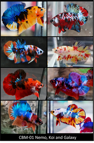 (CBY-01) Mixed Plakat Male Betta Koi, Nemo, Candy, Galaxy Buy 4 Get 1 Free $80,  Buy 1 for $20