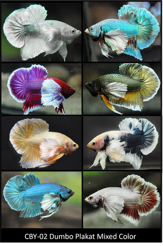 (CBY-02) Mixed Color Dumbo Plakat Male Betta Buy 4 Get 1 Free $80,  Buy 1 for $20