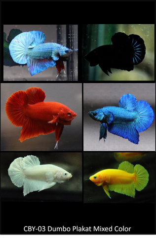 (CBY-03) Mixed solid colors Plakat Male Betta Buy 4 Get 1 Free $80,  Buy 1 for $20