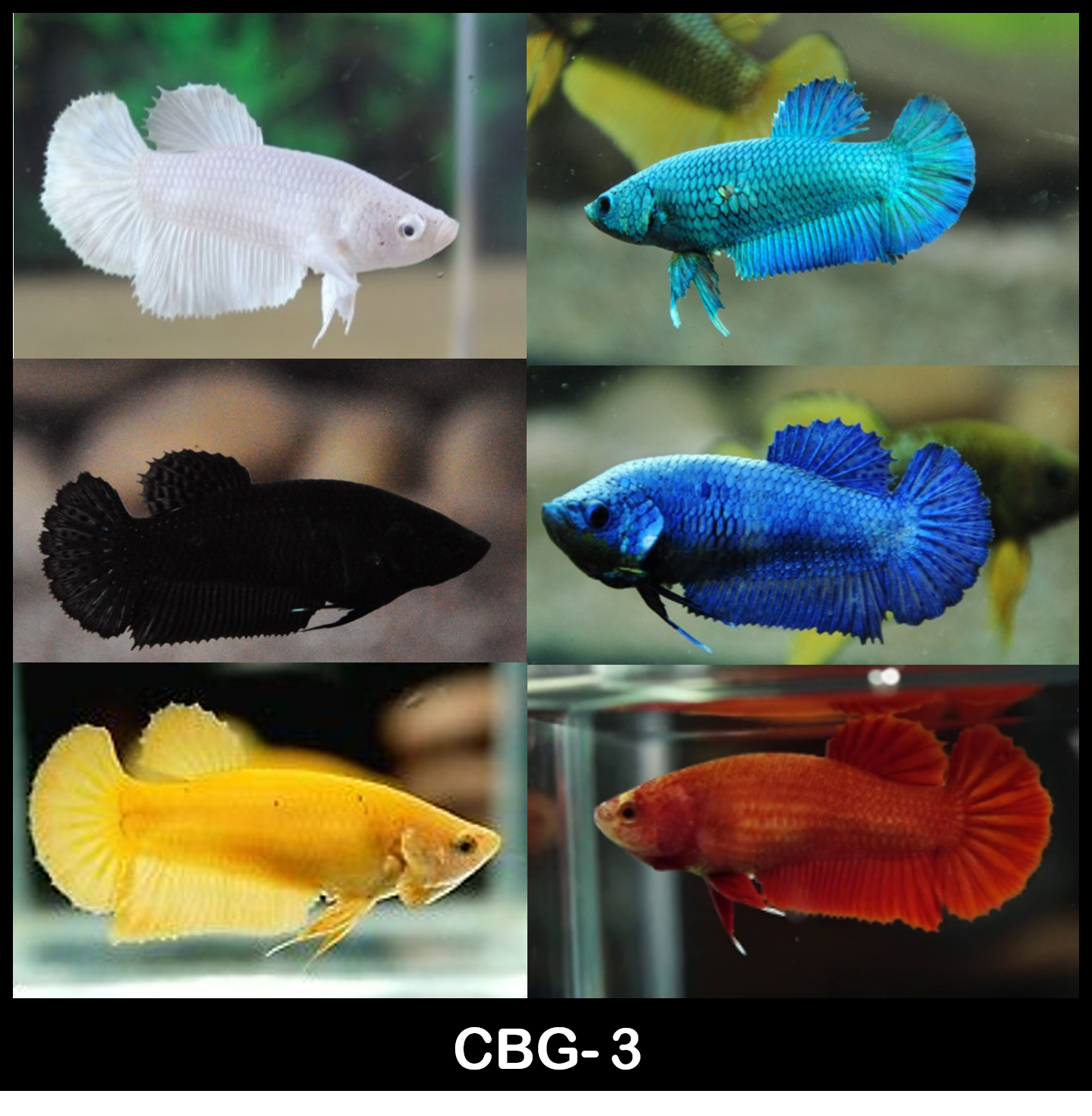 Mixed solid colors Plakat Female Betta 1 for $12 Buy 5 Get 1 Free (CBG-3)