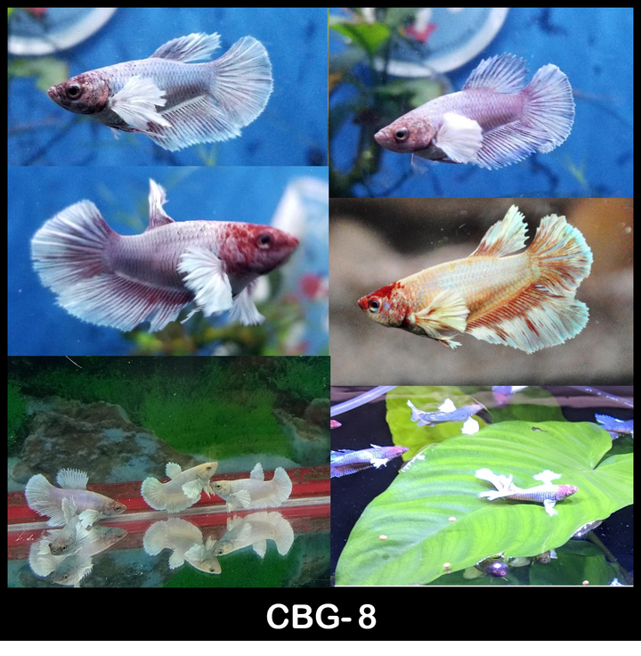 Dumbo Halfmoon Mix Color Betta Female 1 for $12 Buy 5 Get 1 Free (CBG-8)