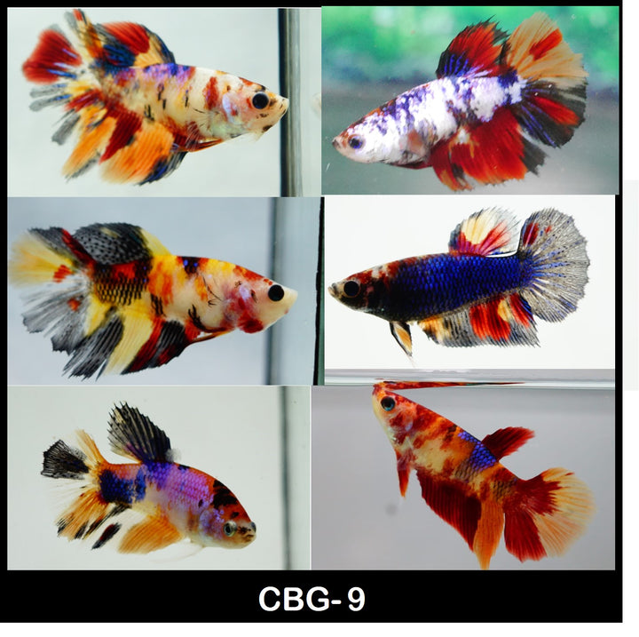 Mixed Halfmoon Female Betta Koi, Nemo, Candy Galaxy 1 for $12 Buy 5 Get 1 Free (CBG-9)