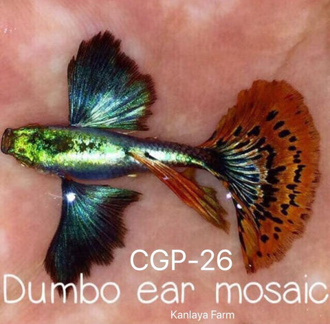(CGP-26)C-20 Red Mosaic Dumbo Guppy