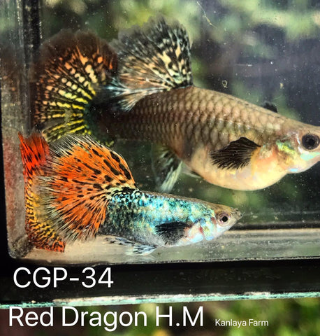 (CGP-34)C-7 Red Dragon Guppy