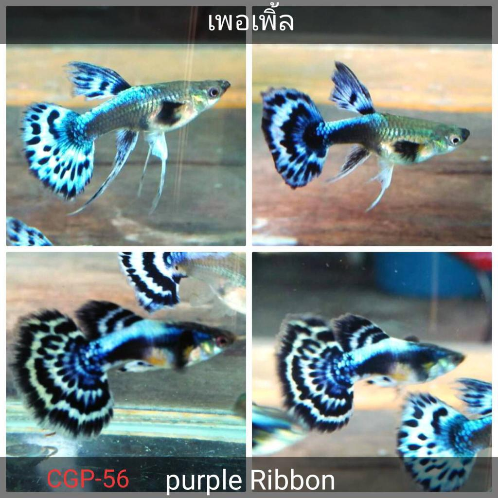 (CGP-56)D-2 Purple Big Ear Mosaic Ribbon Guppy