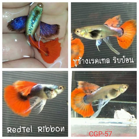 (CGP-57)D-9 Dumbo Ear Red Tail Ribbon Guppy