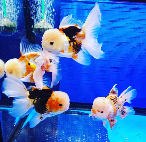 Customers Choice Show Baby Regular Breed Oranda 2.75-3.50inch total