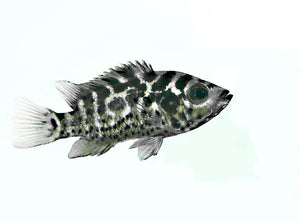 Cuban Cichlid 1.00-1.50in (Nandopsis tetracanthus)
