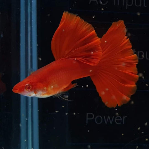 (CGP-01)C-13, 14 Albino High Dorsal Full Red Guppy