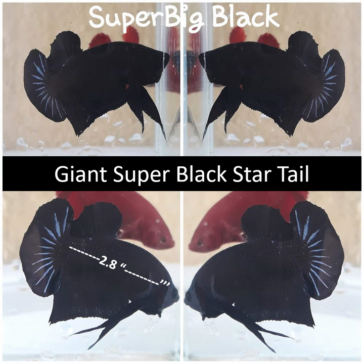 (TOOK-807) Giant Super Black Plakat Male Betta