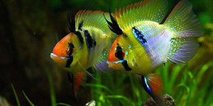 Balloon German Blue Ram ( Microgeophagus Ramirezi ) #77