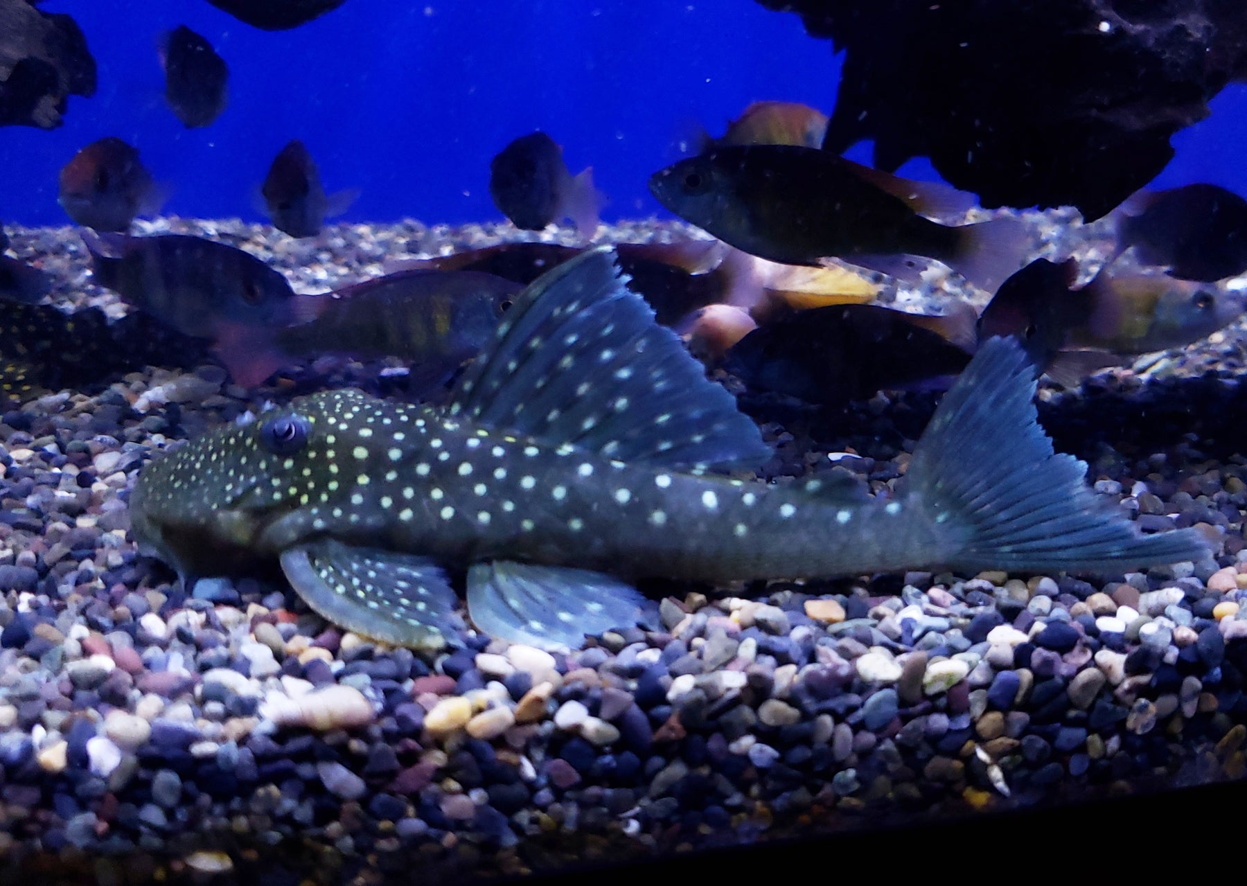 Blue Phantom Pleco L128 (Hemiancistrus sp.)