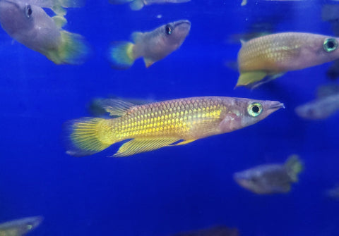 Golden Wonder Killifish (Aplocheilus lineatus) 1.50-2.00 inch