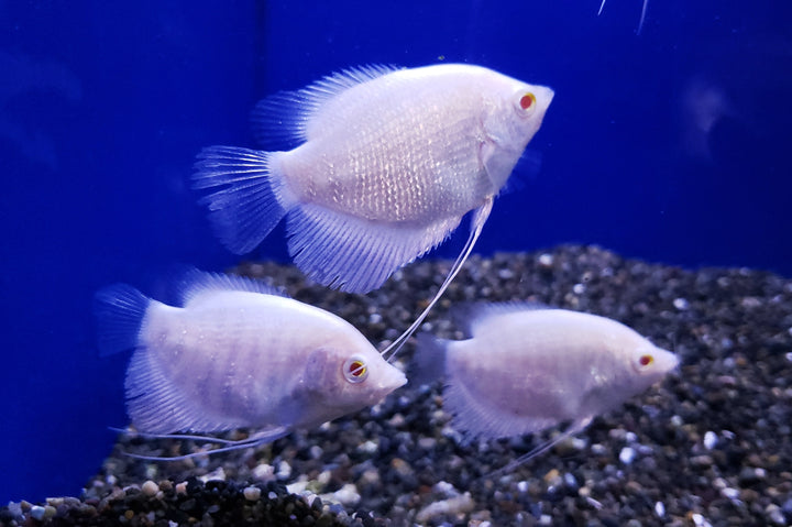 Red Eye Giant Gourami 3.00 inch