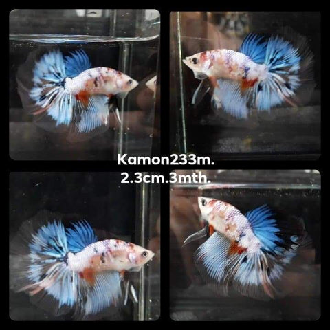 Fancy Marble Cellophane Halfmoon Male Betta (KM-233)30