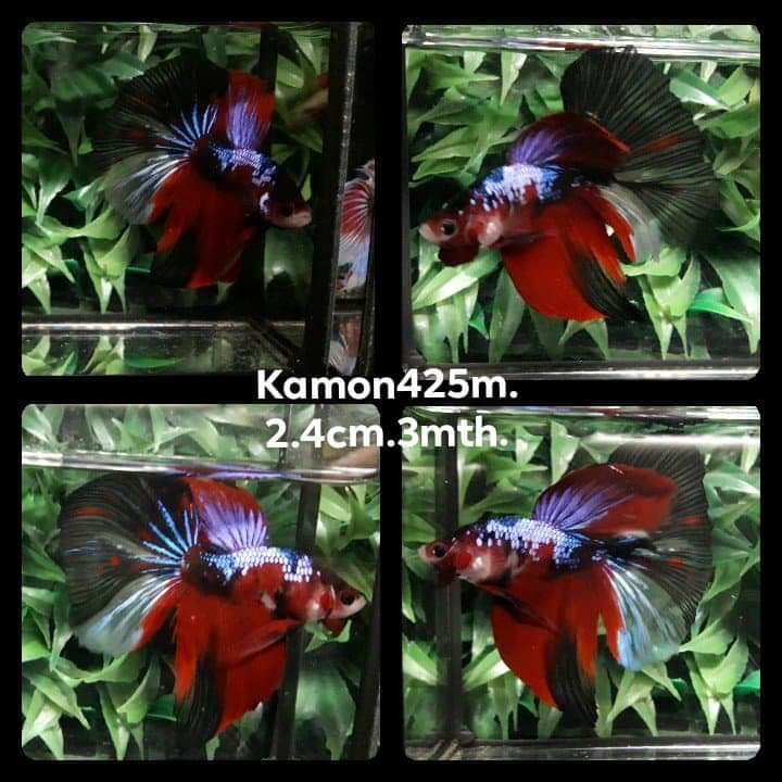 Koi Galaxy Halfmoon Male Betta (KM-425)S 9/14