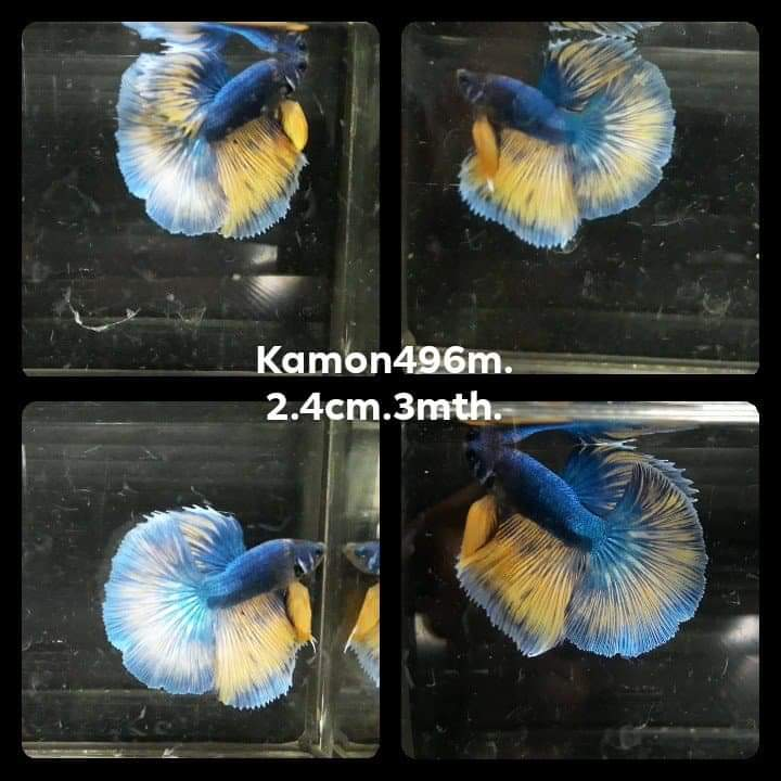 Mustard Gas Halfmoon Male Betta (KM-496)J37