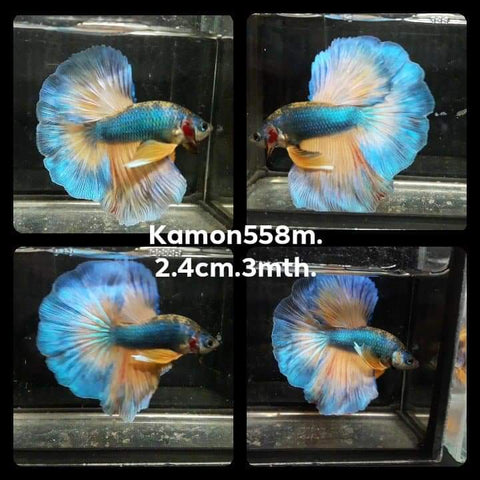 Mustard Gas Halfmoon Male Betta (KM-558)P 10/13